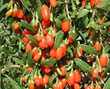 ��ҡ�� (Chinese Wolfberry)